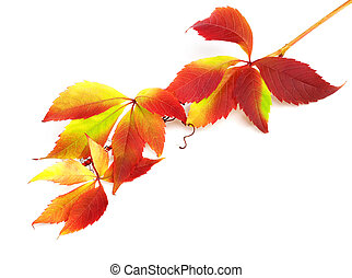 Branch of autumn grapes leaves Parthenocissus quinquefolia...