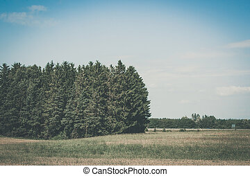 Rural landscape with a pine tree forest