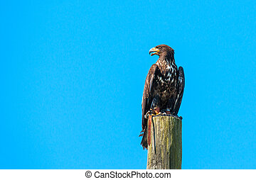 Haliaeetus albicilla eagle looking for prey on a wooden pole