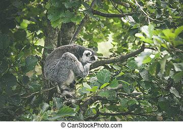 Lemur catta monkey sleeping in a tree