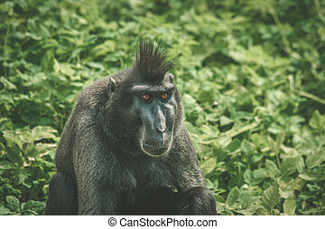 Macaca Nigra monkey sitting in green plants in nature