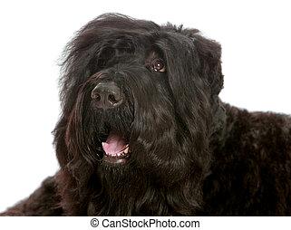 big black shaggy dog - Large black shaggy dog lying tired on...