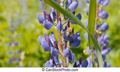 Bee collects honey from lupine. Closeup, slow motion