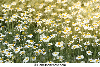 Wild chamomile flowers on a field