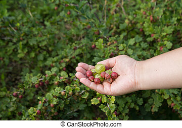 Berries of gooseberry on a female hand   background   gooseberries bush