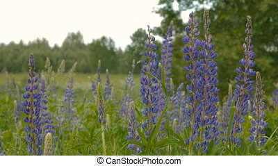 Blue lupine in the meadow. Day