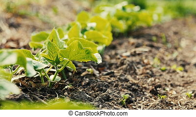 Young shoots of cucumber growing in a garden. - Young shoots...