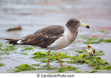 Belchers Gull eating crab on the beach of Paracas Bay, Peru...