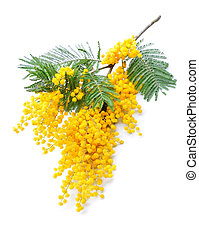 Twig of mimosa flowers isolated on whiteSpring flower