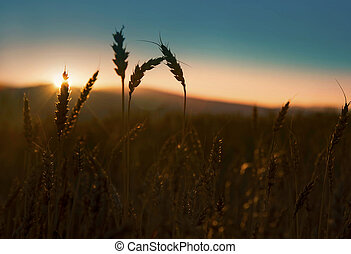 Ears of wheat silhouettes in the sunset light - Ears of...