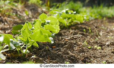 Young shoots of cucumber growing in a garden. Rack focus.