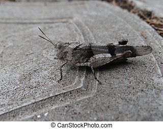 Insect macro grasshopper sits on a stone surface