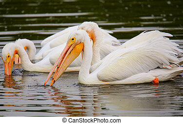 White Pelicans Pelecanus erythrorhynchos feeding in the...