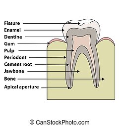 structure tooth - anatomical structure of the tooth...