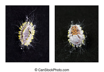 Citrus Mealybug Pests - Top and belly view of a Mealybug, an...