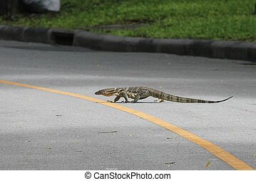 Wild komodo dragon lizard Thailand crossing road
