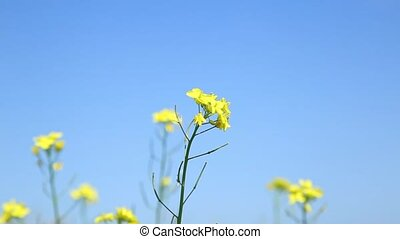 yellow wildflower sways in the wind. Spring nature background.