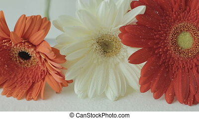 Beautiful colorful gerbera with water drops on white table....