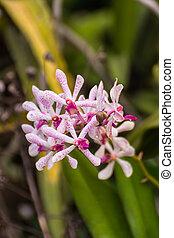Hybrid Vanda orchid , Fah Mui