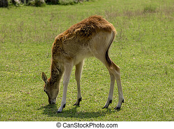roe deer baby playing in the field - small deer grazed in a...
