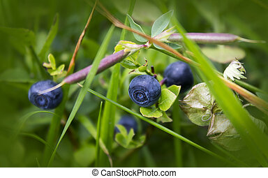 Bush of a ripe bilberry in the summer closeup