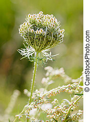 Daucus Carota Flower - Macro of a closed wild carrot (Daucus...