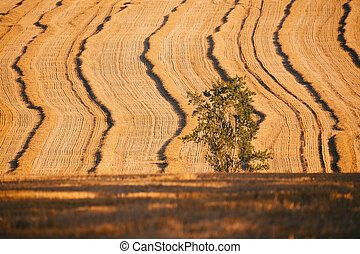 harvested field with straw lines with shadows from evening...
