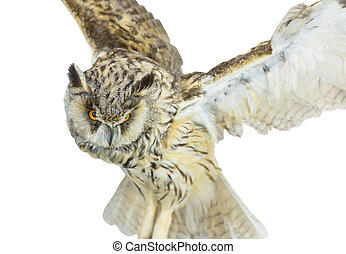 white- brown owl - Beautiful white- brown owl on white...