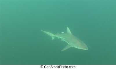 Shark Underwater Video - Underwater diving video