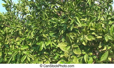 green lime tree growing fresh - Trees with green lemons,...