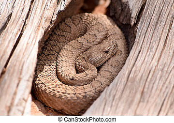 serpiente de cascabel, wilds, midget, Colorado, descolorido...