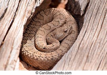 Midget, descolorido, serpiente de cascabel, en, el, wilds,...