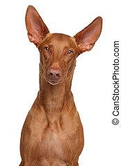 Pharaoh hound. Close-up portrait on isolated white...