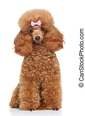 Toy poodle with pink bow - Red Toy Poodle with pink bow...