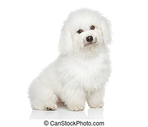 Bichon Frise dog. Portrait on a white background