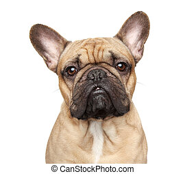 French bulldog portrait - French bulldog. Close-up portrait...