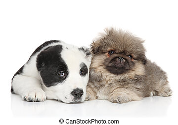 Two puppies, lie on a white background