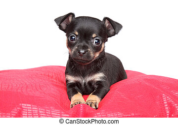 Toy terrier puppy on red pillow - Cute Toy terrier puppy...