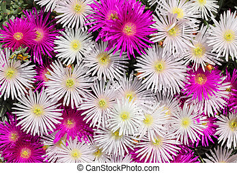 Pink and white British colorful mesembryanthemums (ice plant) flowers.