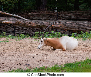 Scimitar Horned Oryx - Scimitar-Horned Oryx relaxing in zoo...