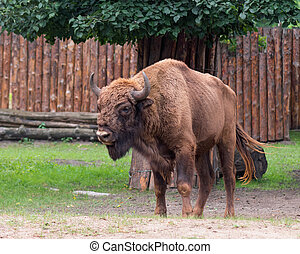 European Bison in zoo - European Bison. Large male bison in...