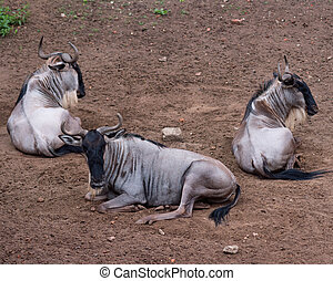 White-bearded wildebeest - Eastern white-bearded wildebeest...