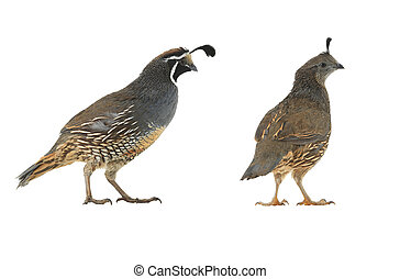 California Quail on a white background