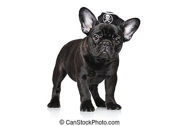 French bulldog puppy in pirate hat - Black French bulldog in...