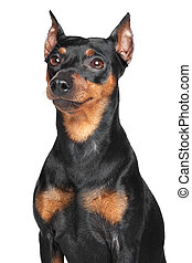 German Pinscher. Close-up portrait on isolated white...