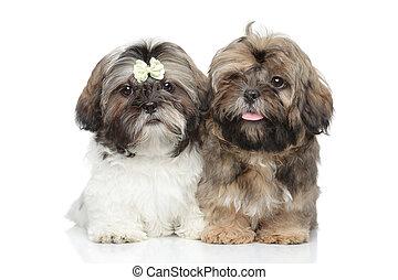 Shih-tzu puppies - Shih tzu puppies. Portrait on white...