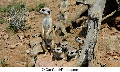 Meerkats on guard - Family of Meerkats Suricata Suricatta on...