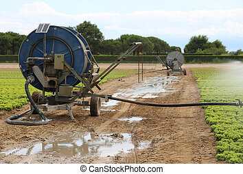 automatic watering system of a lettuce field in summer -...