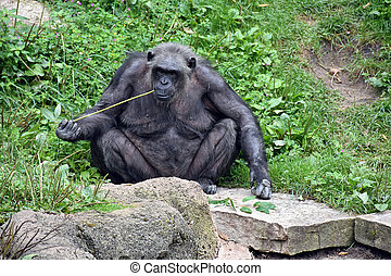 chimpanzee nibbling on grassy reed - Chimpanzee sitting on a...