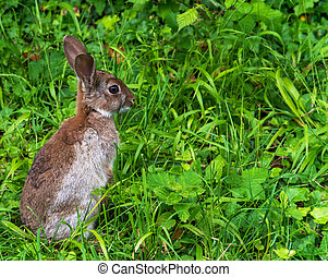 Young wild rabbit - close up side shot of a young wild...